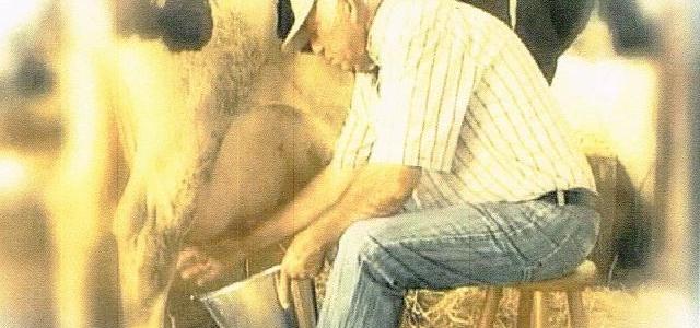 Ordeño de la vaca al estilo tradicional por el fundador de la Vaquería